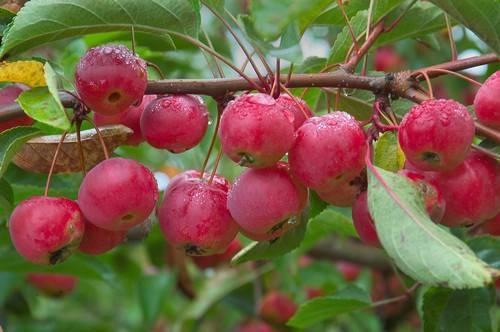 Китайка — яблоня мелкоплодная