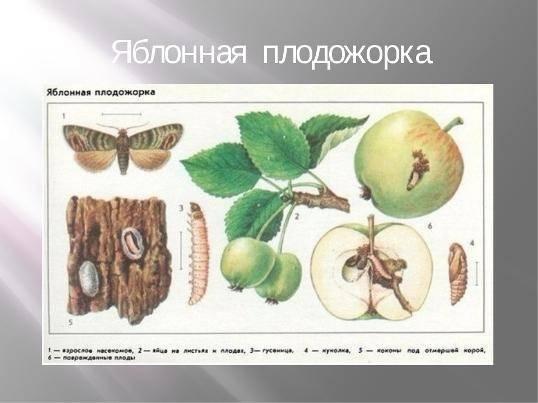 Яблоня серебряное копытце: описание сорта, фото, отзывы, морозостойкость
