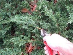 Можжевельник обыкновенный лесной