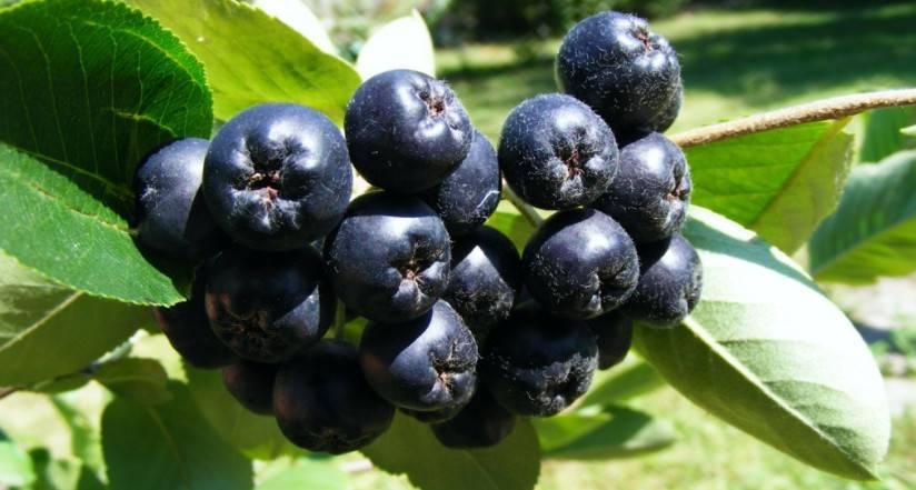 Лечебные свойства черноплодной рябины для здоровья людей разного возраста