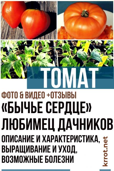 Томат «бычье сердце оранжевое»: томат с высокими вкусовыми качествами и урожайностью