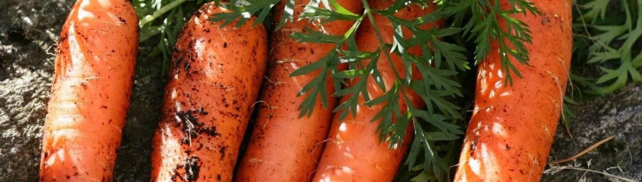Морковь роте ризен красный великан: описание и характеристики, как сажать + отзывы