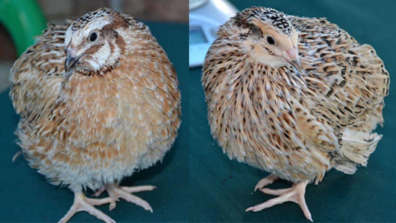 Маньчжурские перепёлки — красивые золотистые птицы
