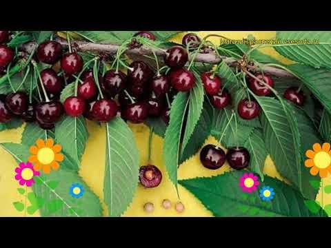 Черешня фатеж — описание сорта, фото, отзывы садоводов