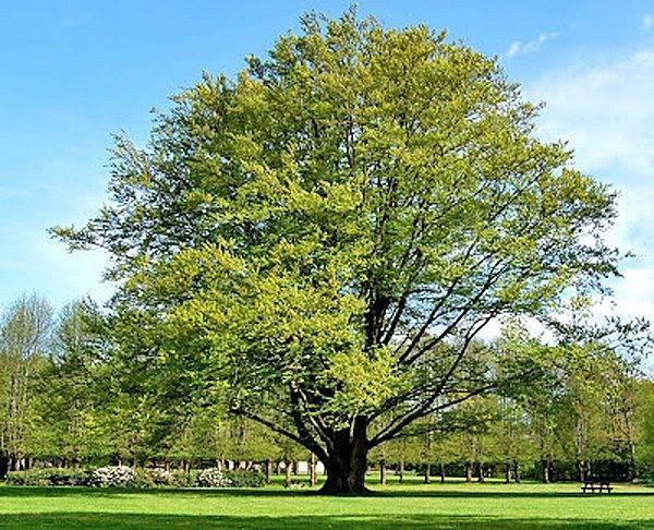 Листопадные растения, деревья и кустарники для сада: фото и названия