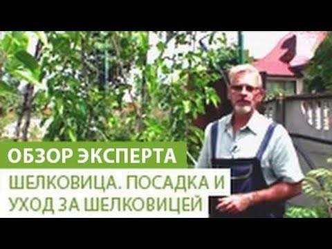 Уход, посадка и выращивание шелковицы в средней и других полосах россии и беларуси, черный тутовник и иные виды с фото