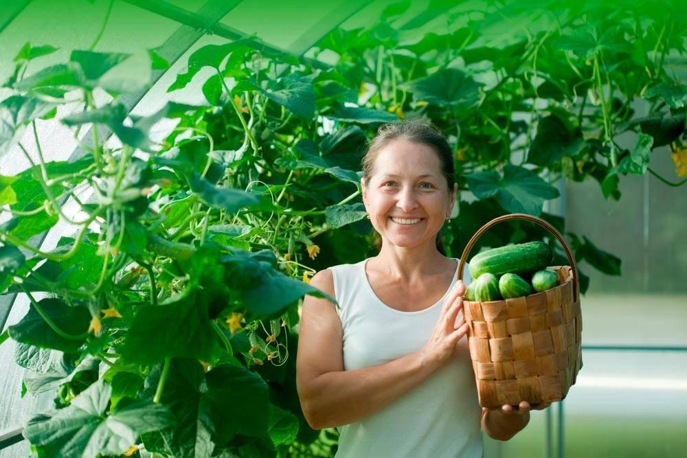 Выращивание огурцов в теплице из поликарбоната, подготовка грунта, посадка, уход