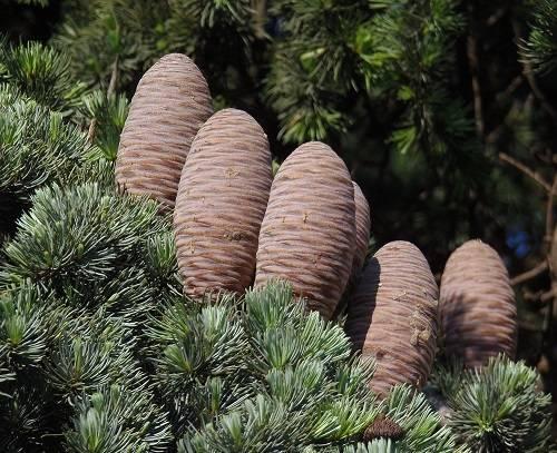 Сосна кедровая европейская (33 фото): ботаническое описание, нюансы посадки и ухода. через сколько лет плодоносит?