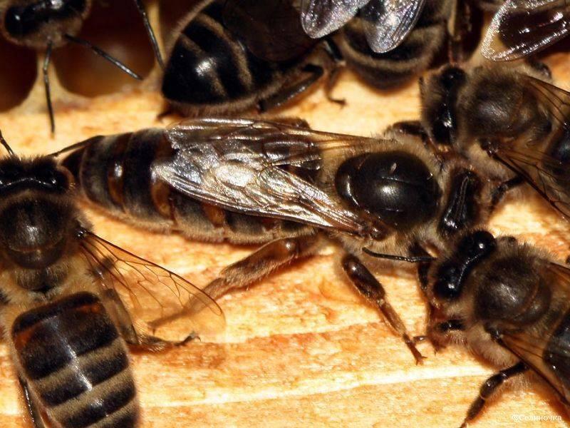 Маточники пчел свищевые и роевые