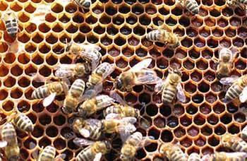 Как распознать и лечить гнилец у пчел?