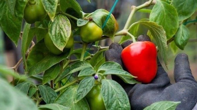 Посев семян перца на рассаду и пикировка: пошаговая инструкция