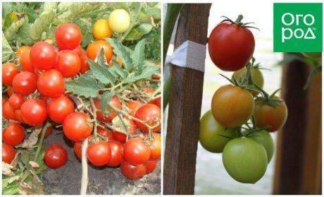 Штамбовые томаты для открытого грунта: проверенные сорта для хорошего урожая