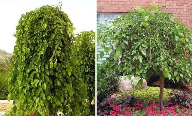 Дерево шелковица: выращивание и уход, фото, посадка в саду, обрезка, прививка, виды и сорта