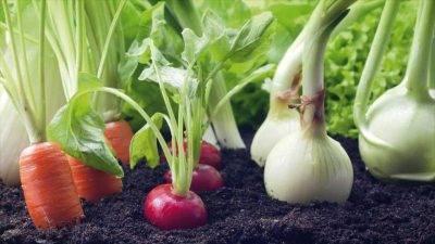 Тонкости выращивания редиса в теплице: выбор сорта, посадка, уход