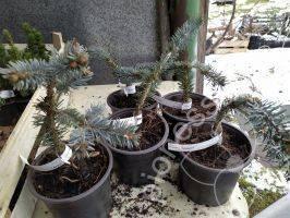 Сорта плакучих елей и их использование