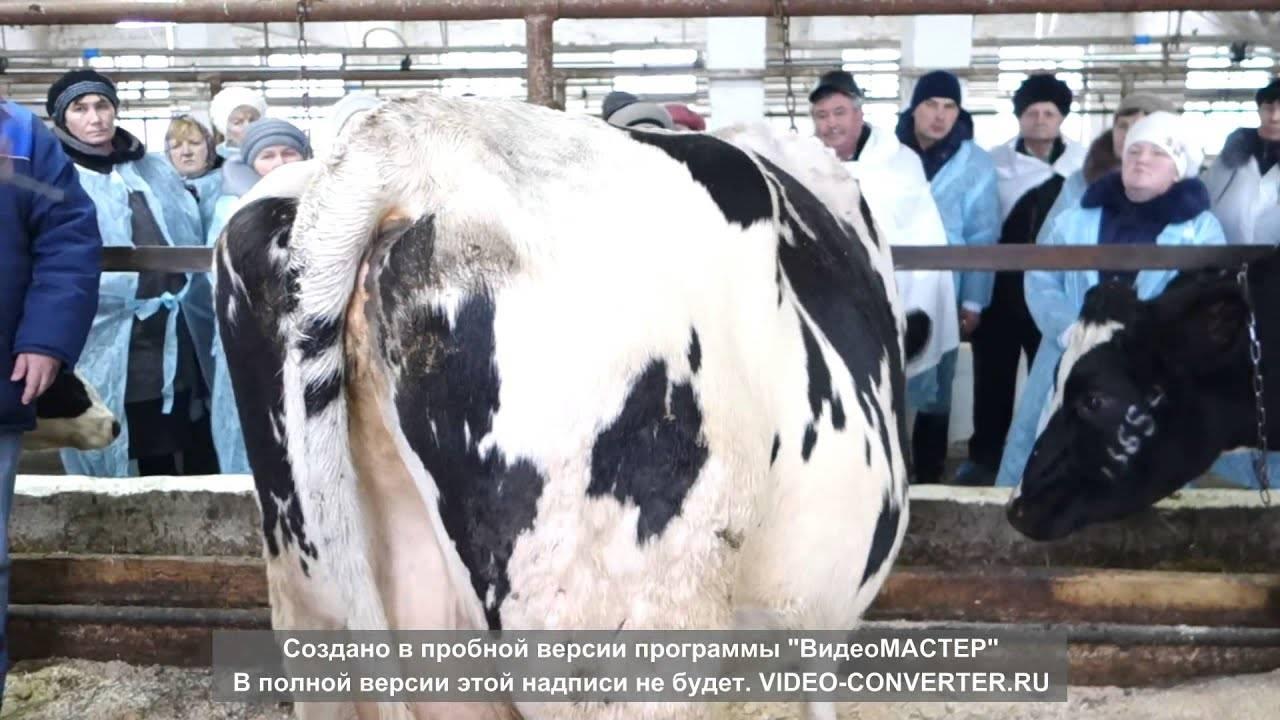 Бонитировка крупного рогатого скота