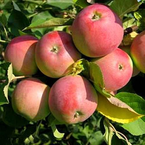Сорт яблок «эрли женева»: характеристика и правила посадки