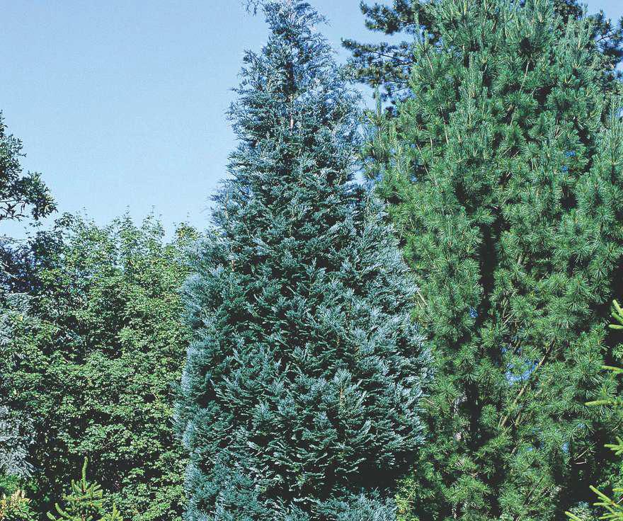 Выращивание кипарисовика на даче