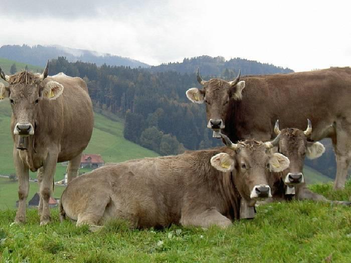 Холмогорская порода коров (29 фото): характеристика быков и телят. плюсы и минусы породы