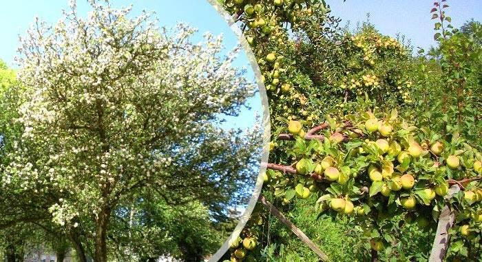 Всеми любимые яблони белый налив: описание сорта и его особенности