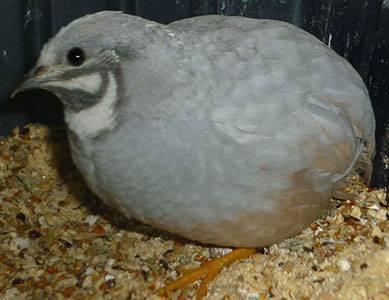 Особенности маньчжурского перепела: уход, содержание и разведение птицы