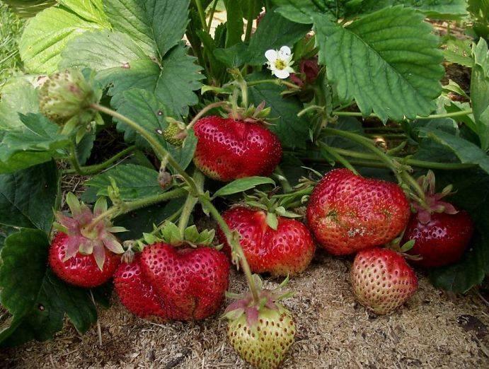 Клубника гигантелла: описание сорта и характеристики, посадка, выращивание и уход с фото