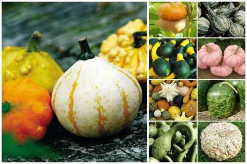 Поразительные сорта тыквы — и вкусные, и красивые