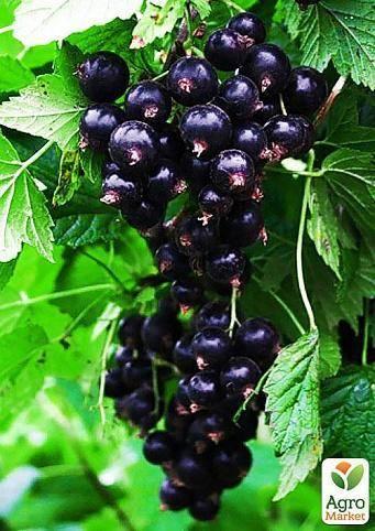 Черная смородина белорусская сладкая