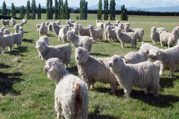 Породы коз: разведение, содержание и уход самых распространенных пород. отличительные особенности и советы по выбору козы (100 фото и видео)