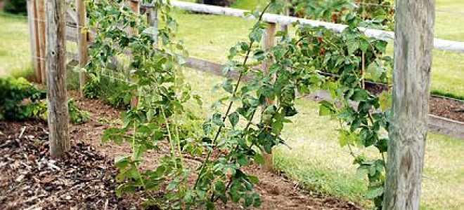 Ежевика садовая: сорта для урала, как вырастить, правила ухода