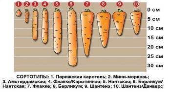 Лучшие сорта моркови для открытого грунта, с описанием