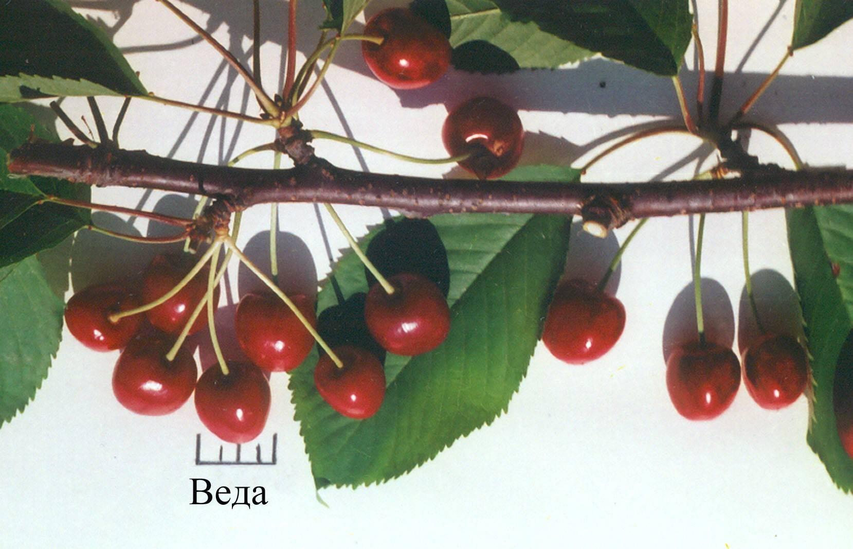 Черешня подарок орлу — описание сорта, фото, отзывы садоводов