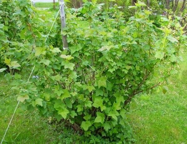 Особенности ухода и размножения чёрной смородины сорта «гулливер»