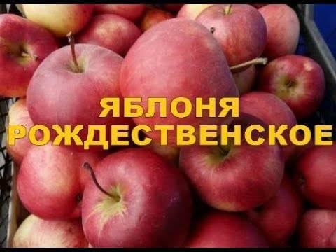 Описание и характеристики яблони сорта рождественское, правила посадки и ухода