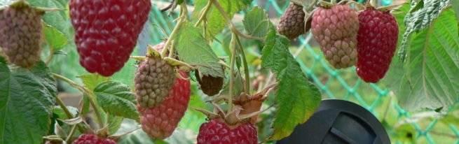 Ремонтантная малина таганка – любимая ягода без лишних усилий