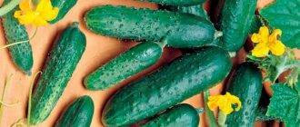 Голландские огурцы: 25 лучших сортов для открытого грунта и теплиц
