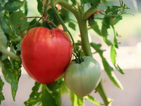 Сорт-новичок с особенным вкусом — томат чероки шоколад: отзывы об урожайности, описание