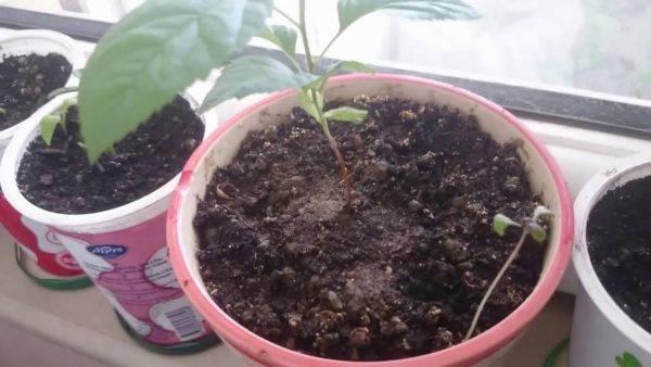 Как вырастить грушу из семечка в домашних условиях