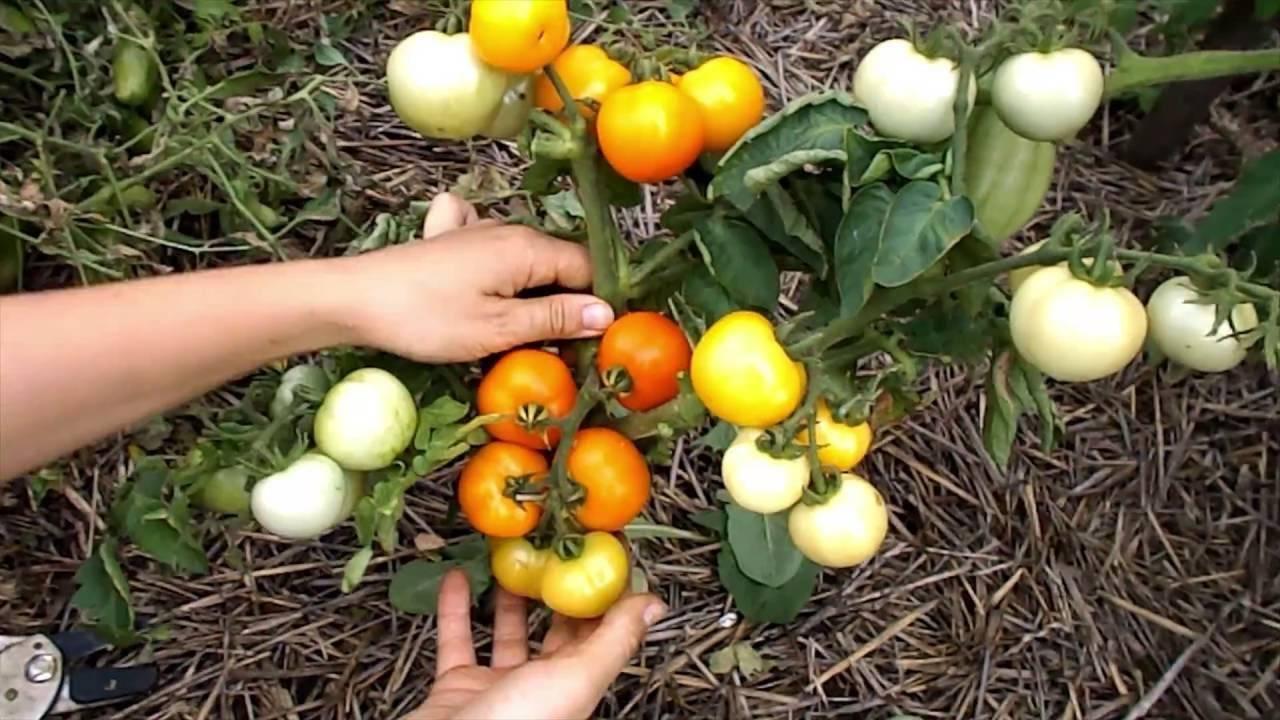 Описание сорта томата янтарный и его характеристики