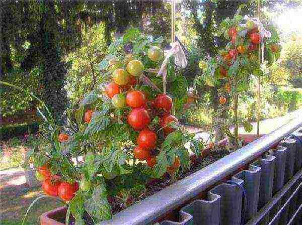 Как вырастить помидоры на балконе - подробное пособие для начинающих!