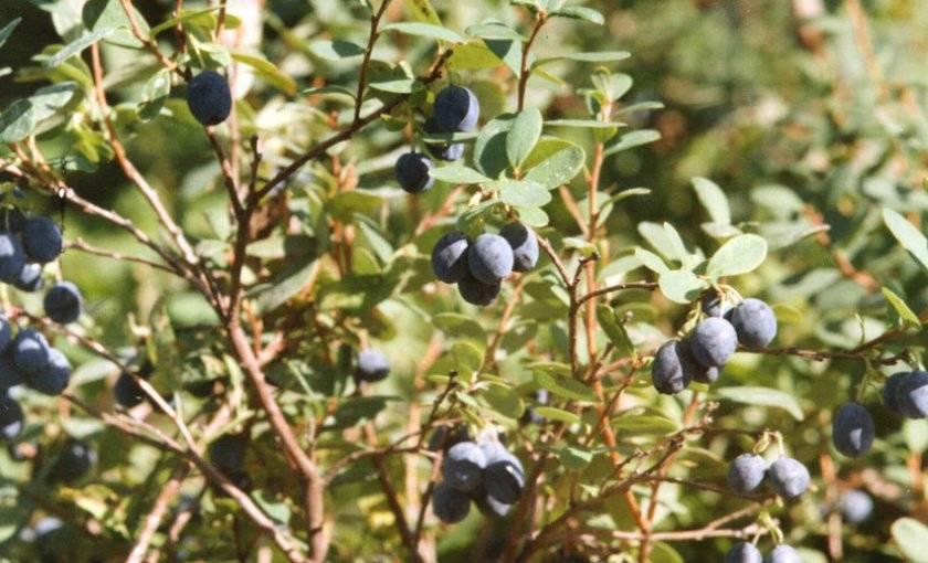 Посадка, уход и выращивание различных сортов садовой голубики, отзывы