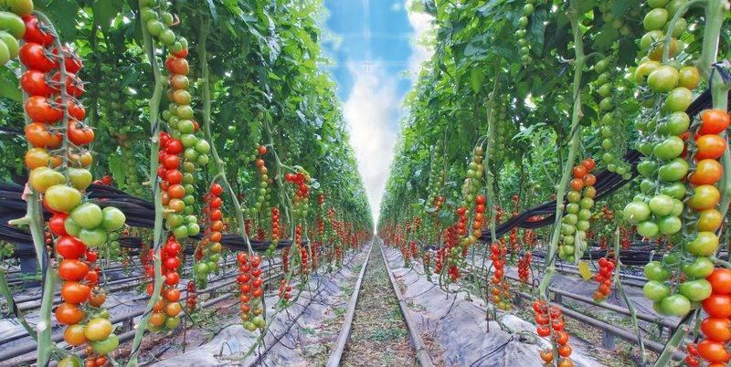 Что такое индетерминантные томаты и как их выращивать