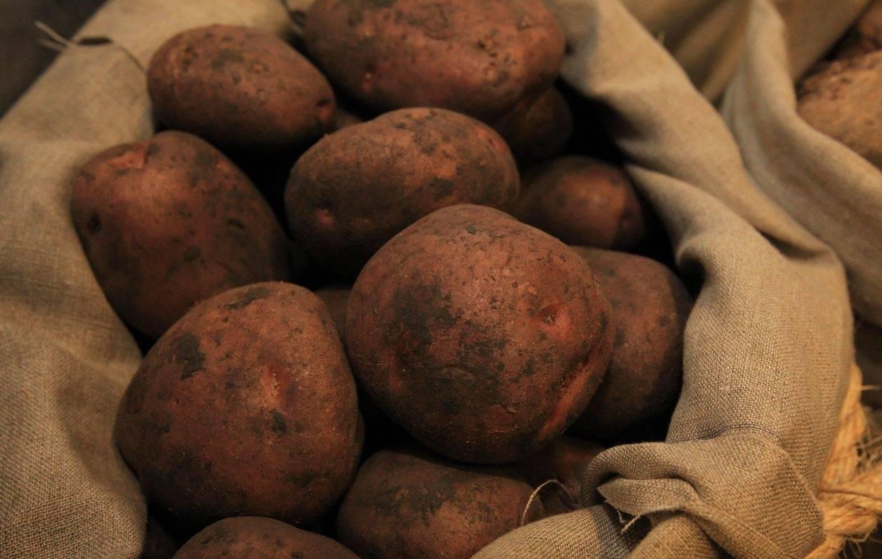 Картофель для урала: обзор лучших сортов