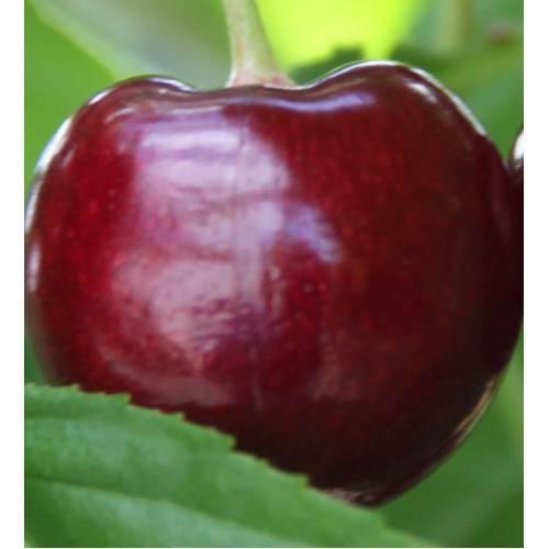 Черешня июньская ранняя — описание сорта, фото, отзывы садоводов