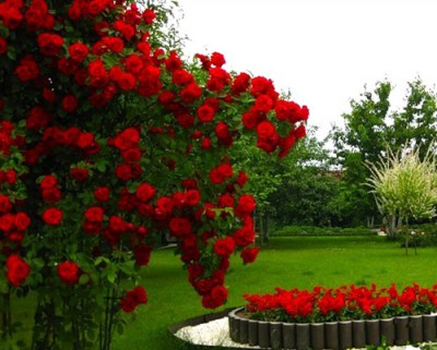 Плетистая роза: что это такое, как применяют в ландшафтном дизайне сада, при оформлении участка на даче, описание, характеристики, название видов с фото, размножение