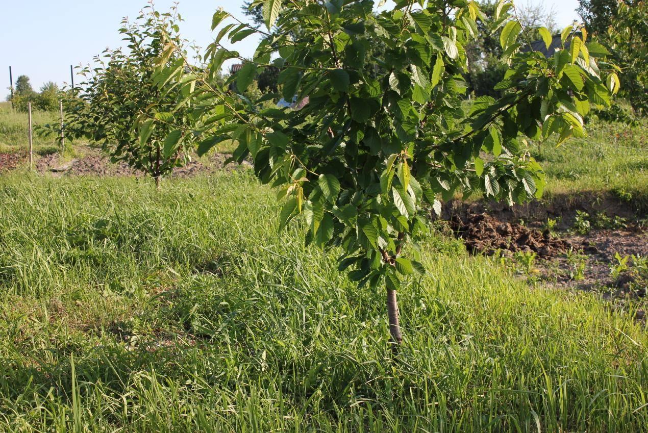 Особенности посадки черешни сорта ярославна и ухода за ней