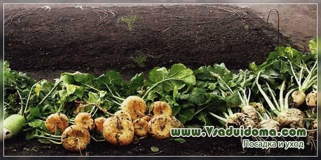 Овощ турнепс: посадка и уход в открытом грунте, фото, выращивание из семян, уборка, хранение