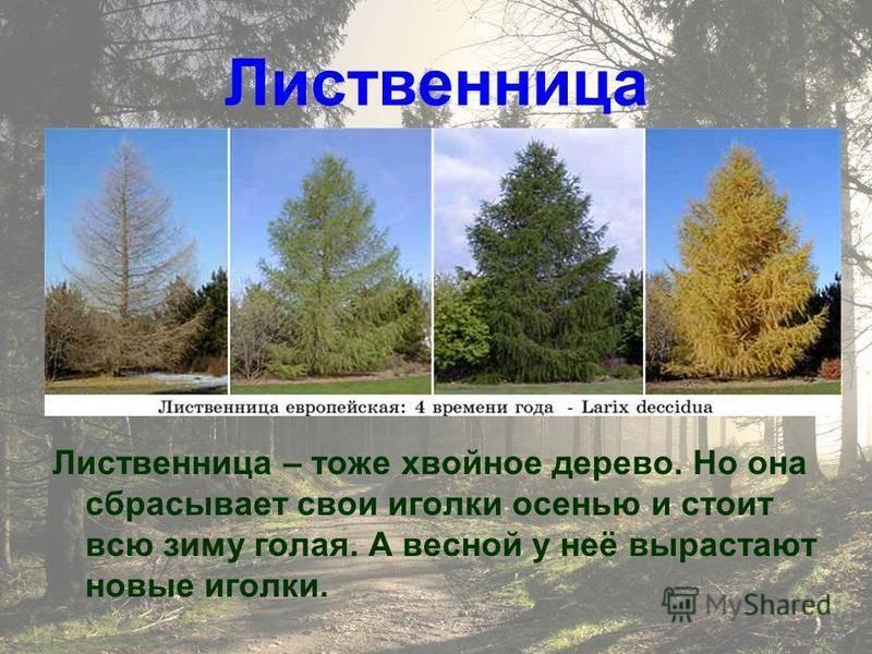 Какие хвойные деревья сбрасывают хвою на зиму