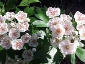 Цветы боярышника – лечебные свойства и противопоказания