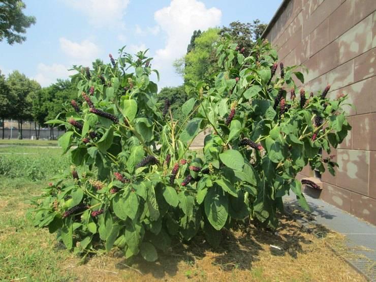 Лаконос (фитолакка): что это за растение, лечебные свойства, применение в народной медицине